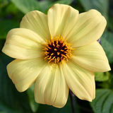Great Yellow Flower Stock Images