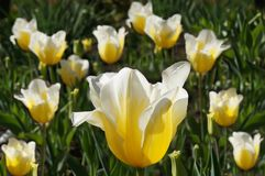 Great yellow with white tips Tulip. Great yellow with white tips Tulip on the background of tulips Stock Photo