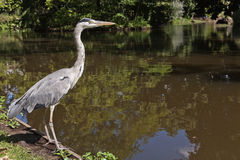 Great young Heron. In Amsterdam, Holland - Europe Stock Images