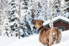 Greate dane winter behind. 5 months old greate dane in winter forest Royalty Free Stock Photos