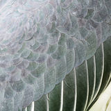 Greater Adjutant feathers Stock Image