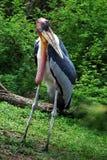 Greater Adjutant Stork royalty free stock photos