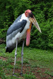 Greater Adjutant Stork Royalty Free Stock Photography