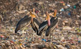 Greater Adjutants in Guwahati. Greater Adjutant which is an endangered specie can be easily found near Garbage Dump in Guwahati, Assam, India royalty free stock photo