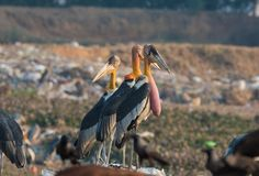 Greater Adjutants in Guwahati. Greater Adjutant which is an endangered specie can be easily found near Garbage Dump in Guwahati, Assam, India royalty free stock images