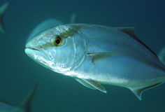 Greater Amberjack Stock Photo