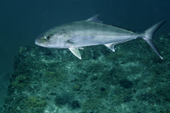 Greater Amberjack - Macs Reef Royalty Free Stock Photos
