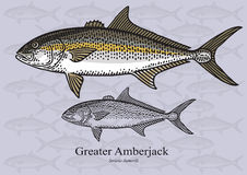 Greater Amberjack - Vector illustration Royalty Free Stock Photos