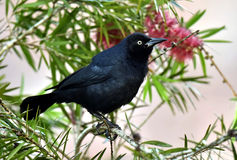 The Greater Antillean grackle (Quiscalus niger) Royalty Free Stock Image