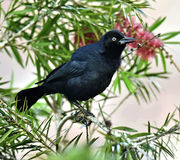 The Greater Antillean grackle (Quiscalus niger) Stock Images