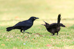 The Greater Antillean grackle Stock Images