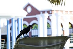 Greater Antillean grackle relaxing on the sunbed - Varadero, Cuba royalty free stock photo