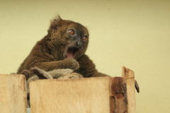 Greater bamboo lemur Stock Photos