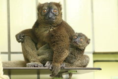 Greater bamboo lemur Royalty Free Stock Photography