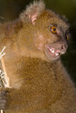 Greater Bamboo Lemur. Wild Greater Bamboo Lemur in Madagascar Royalty Free Stock Image