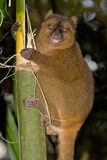 Greater Bamboo Lemur. Wild Greater Bamboo Lemur in Madagascar Royalty Free Stock Photos