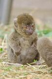 Greater bamboo lemur baby Stock Images