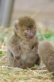 Greater bamboo lemur baby Royalty Free Stock Images