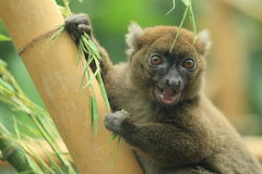 Greater bamboo lemur. The upper body of greater bamboo lemur Royalty Free Stock Images
