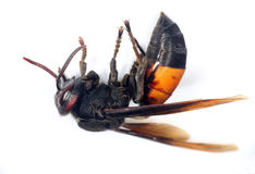 Greater Banded Hornet Stock Images