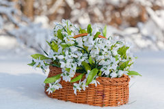 Greater basket with snowdrops Stock Images
