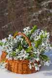 Greater basket with snowdrops Royalty Free Stock Photography