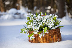 Greater basket with snowdrops Royalty Free Stock Photos