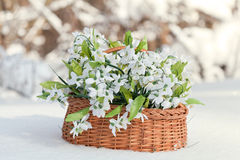 Greater basket with snowdrops Royalty Free Stock Images