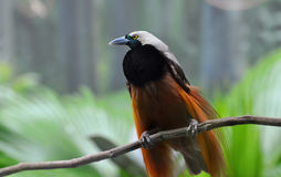 Greater Bird-of-paradise Royalty Free Stock Photos