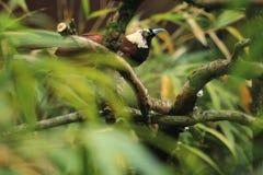 Greater bird of paradise Stock Image