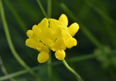 Greater Bird& x27;s-foot Trefoil. Lotus pedunculatus Royalty Free Stock Images