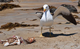 Greater Black-backed Gull royalty free stock photos