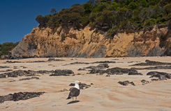 Greater Black-backed Gull Royalty Free Stock Images