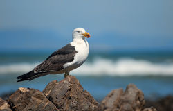 Greater Black-backed Gull Stock Images