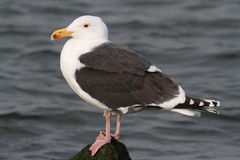 Greater Black-backed Gull By The Ocean Royalty Free Stock Images