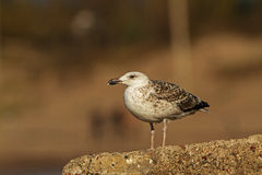 Greater Black-backed Gull at the stone Stock Photo