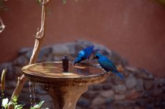 Greater blue-eared glossy-starling. Royalty Free Stock Photography