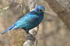 Greater Blue-eared Glossy-starling (Lamprotornis chalybaeus) Stock Photography