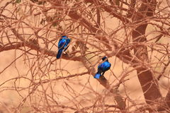 Greater Blue-Eared Glossy Starlings Royalty Free Stock Image