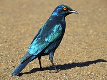 Free Greater Blue-eared Starling Stock Images - 1263704