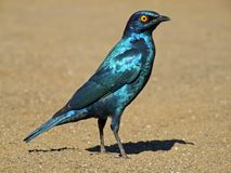 Greater blue-eared starling Royalty Free Stock Photos