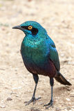 Greater Blue-eared Starling. The Greater Blue-eared Glossy-starling is a 22-cm long, short tailed bird. This starling is glossy blue-green with a purple-blue Stock Images