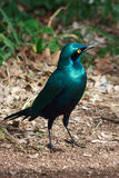 Greater Blue-eared Starling. The Greater Blue-eared Glossy-starling is a 22-cm long, short tailed bird. This starling is glossy blue-green with a purple-blue Royalty Free Stock Image