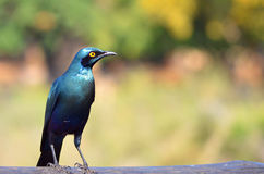 Greater blue-eared starling (Lamprotornis chalybaeus) Royalty Free Stock Photo