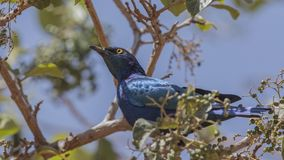 Greater blue-eared Starling on Shrubs. Greater blue-eared starling, Lamprotornis chalybaeus, is perching on shrubs in Finchawa, Ethiopia, Africa stock image