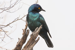 Greater Blue Eared Starling on wood Stock Image