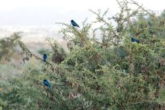 Greater blue-eared starlings Stock Images
