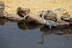 Greater blue heron Stock Images