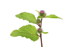 Greater Burdock Stock Photo