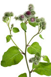 Greater burdock (Arctium tomentosum Royalty Free Stock Photo